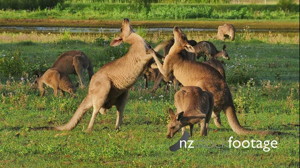 Eastern Grey Kangaroo boxing attempt  29079