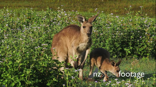 Eastern Grey Kangaroo,  mother and joy 29080