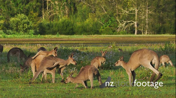 Eastern Grey Kangaroo group 29081