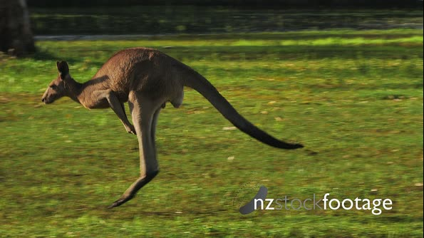 Eastern Grey Kangaroo hopping 29082
