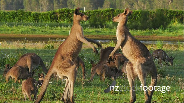 Eastern Grey Kangaroo boxing 2 29084