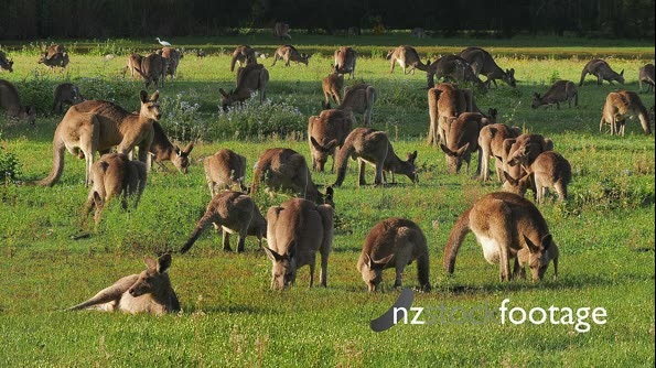 Eastern Grey Kangaroo large mob interacting 2 29085