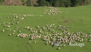 Sheep in field aerial 2 29107