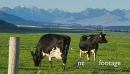 Dairy Cows in Green Paddock With Mountains  29121