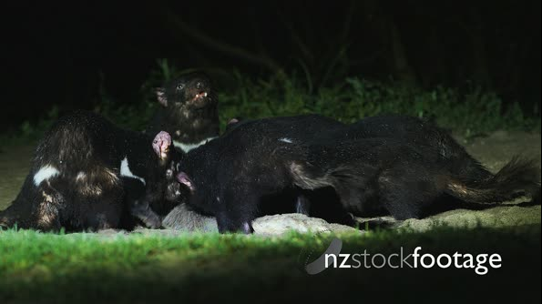 Tasmanian Devil at night 01 29122