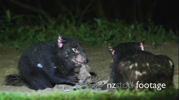 Tasmanian Devil at night 08 29129