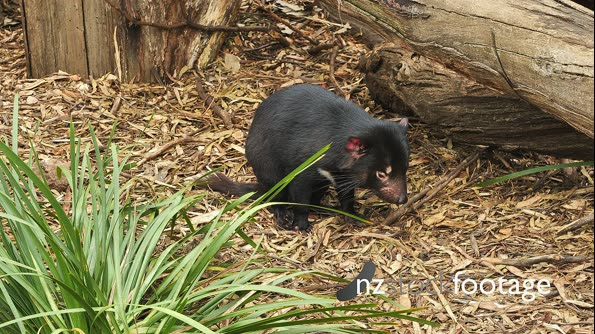 Tasmanian Devil Daylight 01 29133