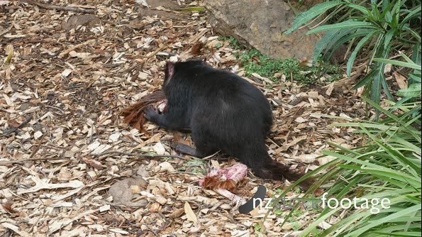 Tasmanian Devil daylight feeding 07 29142