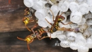 Paper wasps,  two alert,  one laying egg in cel 29234