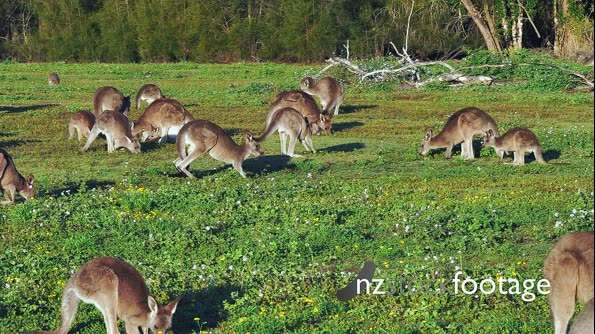 Eastern Kangaroo mob 04, individual hopping into the group, slowmotion 29563