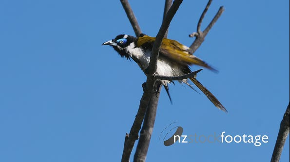 Blue-faced Honeyeater preening after shower 29602