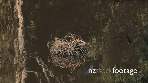 Dusky Moorhen sitting on nest over pond,  wide,  couple of Pacific Black Duck passing by 29865