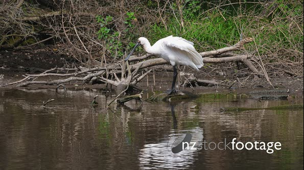 Royal Spoonbill preening on branches on pond's edge 29877