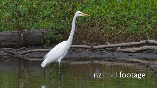 Eastern Great Egret in fishing mode in a pond 29880