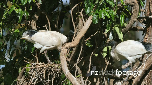 Australian White Ibis on nest arguing with neighbors 29883