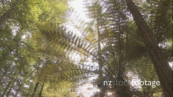 Redwood Trees and  Black Fern Pan 3088