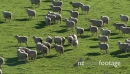 Sheep Flock in Grass Paddock 1 Aerial 4176