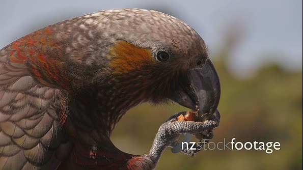 Kaka New Zealand Bird 1 4645